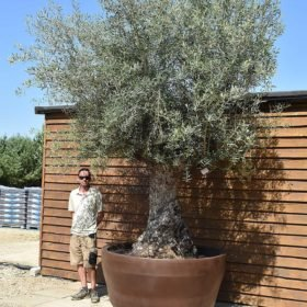 potted ancient olive tree 572 (1)