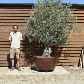 potted bonsai olive 515 (2)