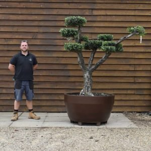 potted cloud olive tree 620 (2)
