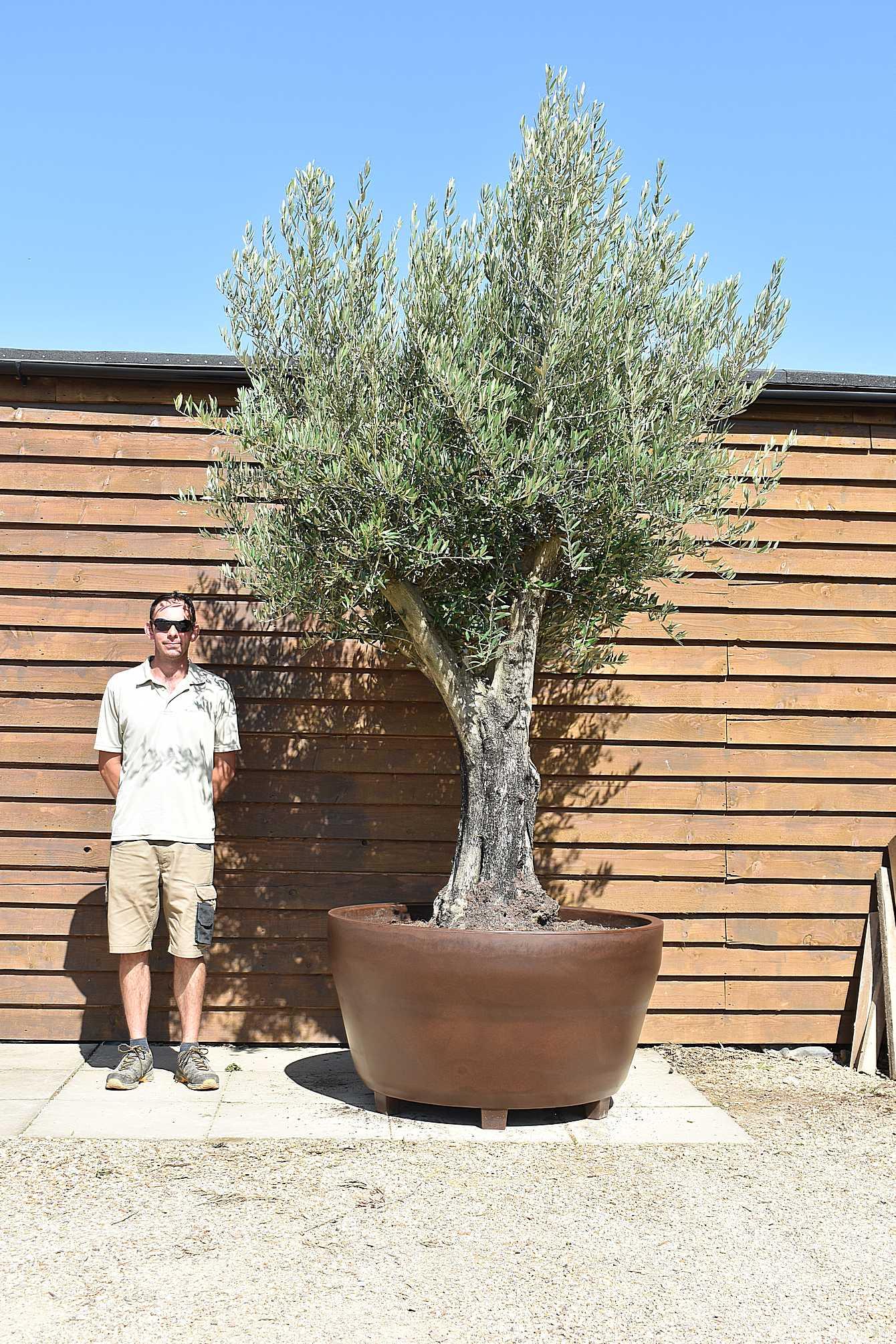potted multi stem olive 550 (1)