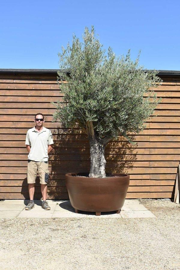 potted multi stem olive 580 (2)