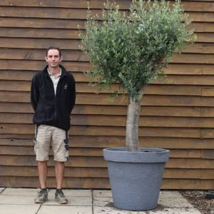 potted top worked olive tree 423 (1)