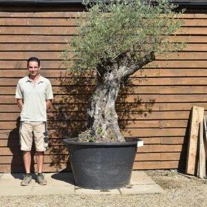 500lt Olive Tree 367 (2)