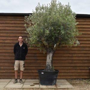 60 100 multi stem olive tree 157 (2)