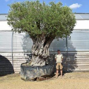 600 yr old olive tree (1)