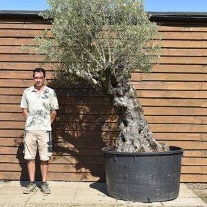 600lt Olive Tree 377 (2)