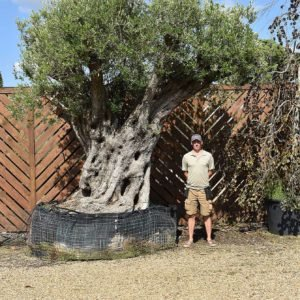 700 yr old olive tree (1)