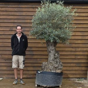 80 100 ancient olive tree 540 (2)