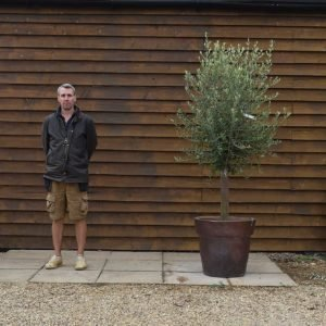 Potted Screening olive tree 576 (1)