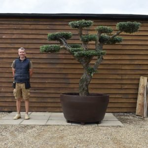 Potted cloud olive tree 440 (1)