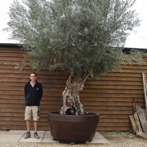 potted ancient olive 109 (2)