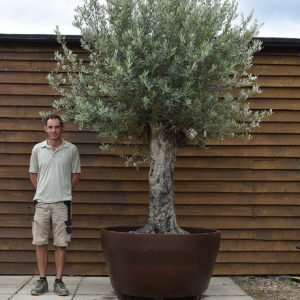 potted ancient olive 153 (2)