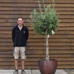potted chelsea olive tree 113 (2)