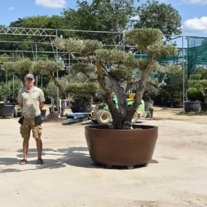 potted cloud olive 391 (2)