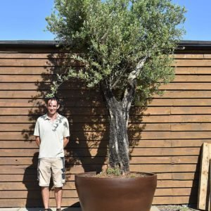 potted olive 380 (2)