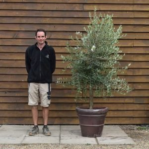 potted screening olive tree 517 (2)