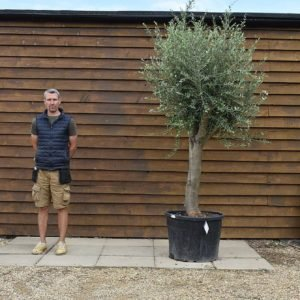 top worked olive tree 301 (2)
