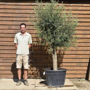 top worked olive tree 318 (2)
