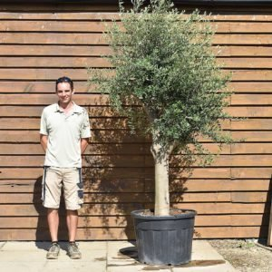 top worked olive tree 355 (2)