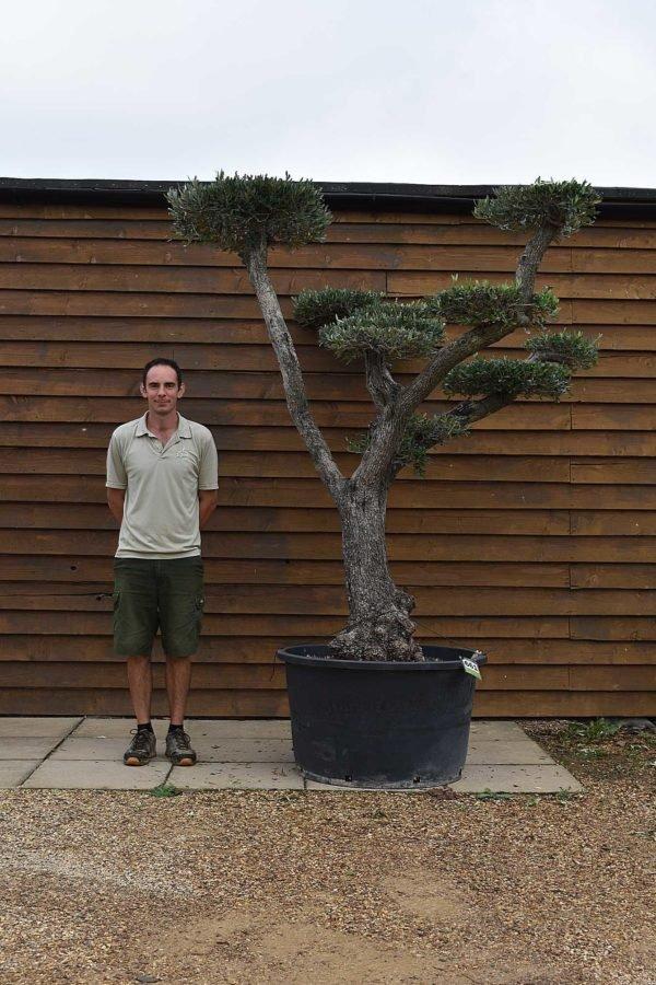 285lt cloud olive tree 661 (2)