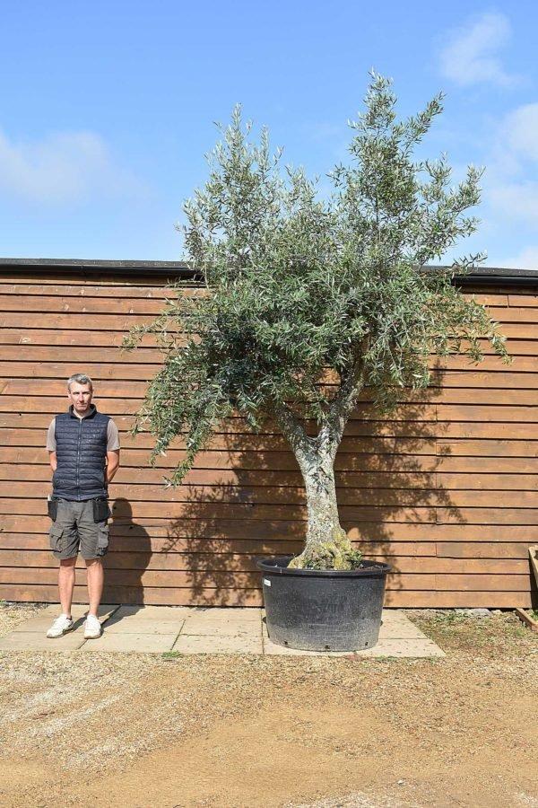 50 80 multi stem olive 448 (2)