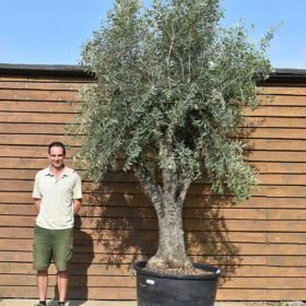 50 80 multi stem olive 699 (2)