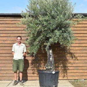 60 100 multi stem olive 684 (2)
