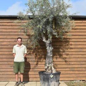 60 70 multi stem olive 657 1