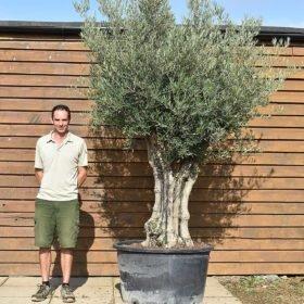 80 100Multi stem olive 674 (2)