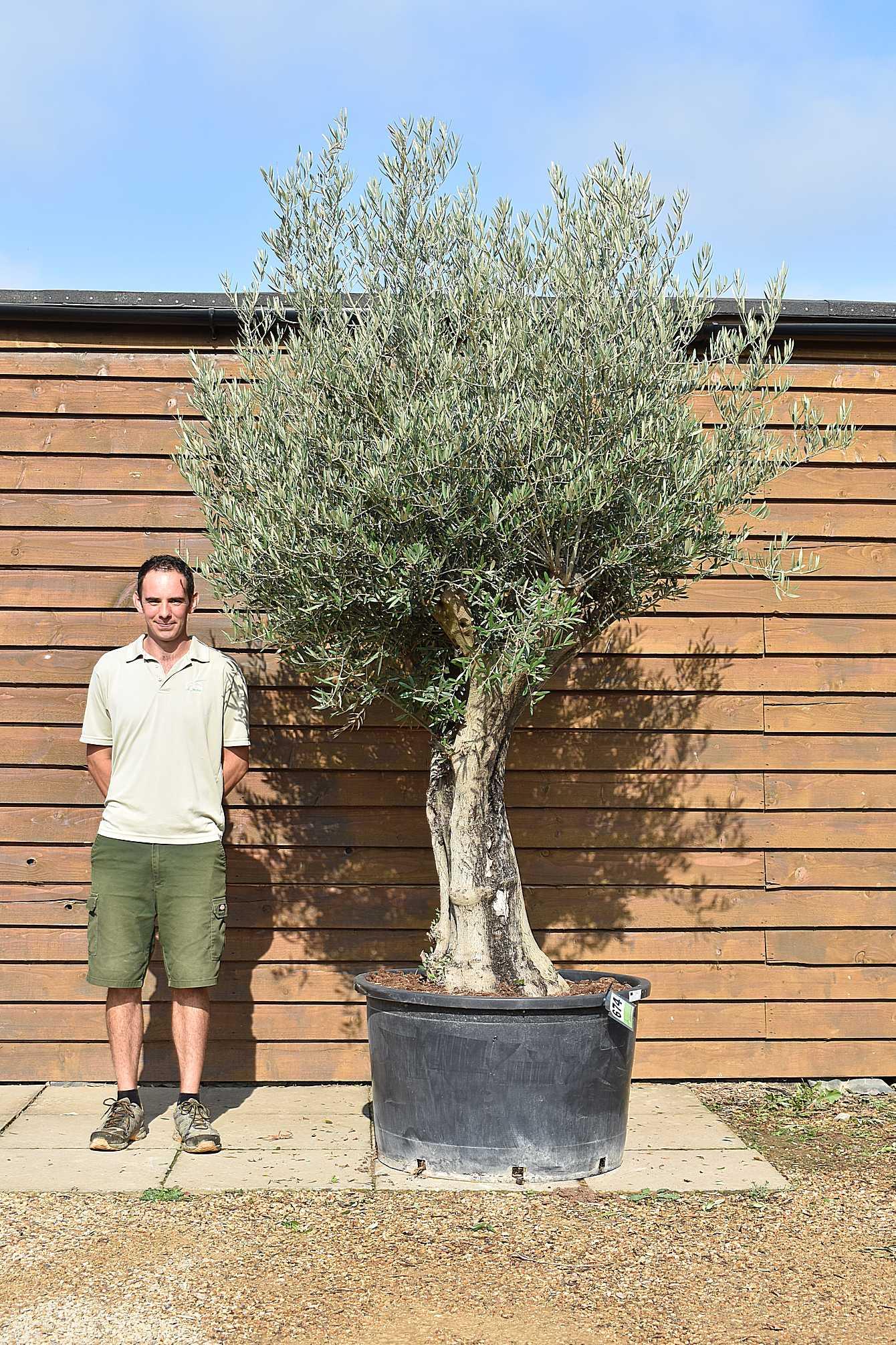 80 100 Multi stem olive 674 (2)