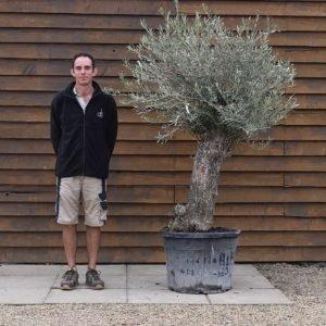 mini bonsai olive 371 (2)