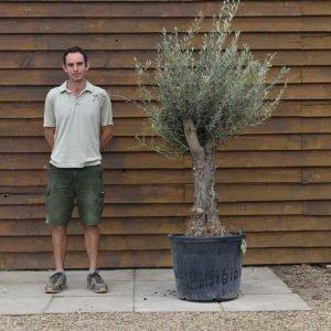 mini gnarled olive 402 (2)