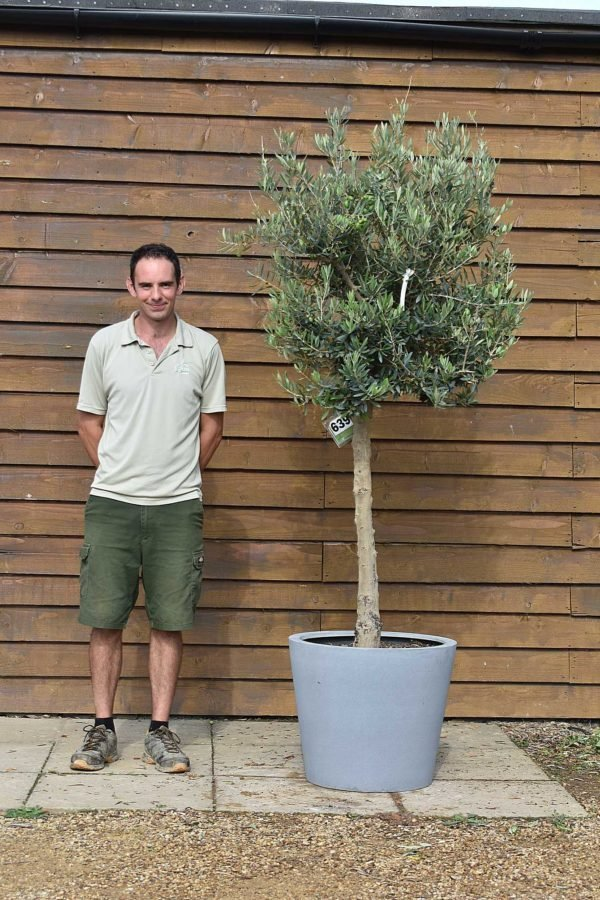 potted chelsea olive 639 (1)