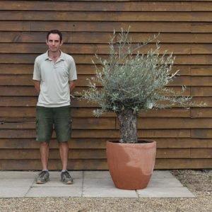 potted mini ganrled olive 430 (2)