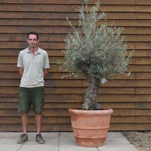 potted mini ganrled olive 445 (2)