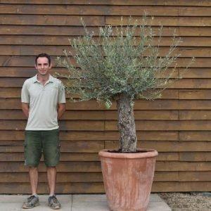 potted mini ganrled olive 452 (2)