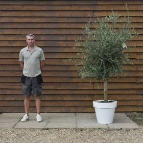 potted screening olive 364 (2)
