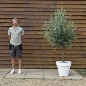 potted screening olive 368 (2)
