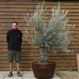 potted min gnarled 105 (2)
