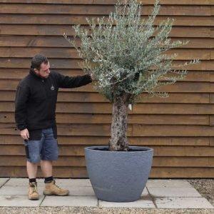 potted mini gnarled olive tree 695 (2)